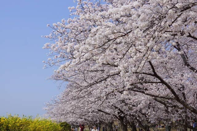 伊勢市「宮川堤の桜」見てきました〜(^^)   2018