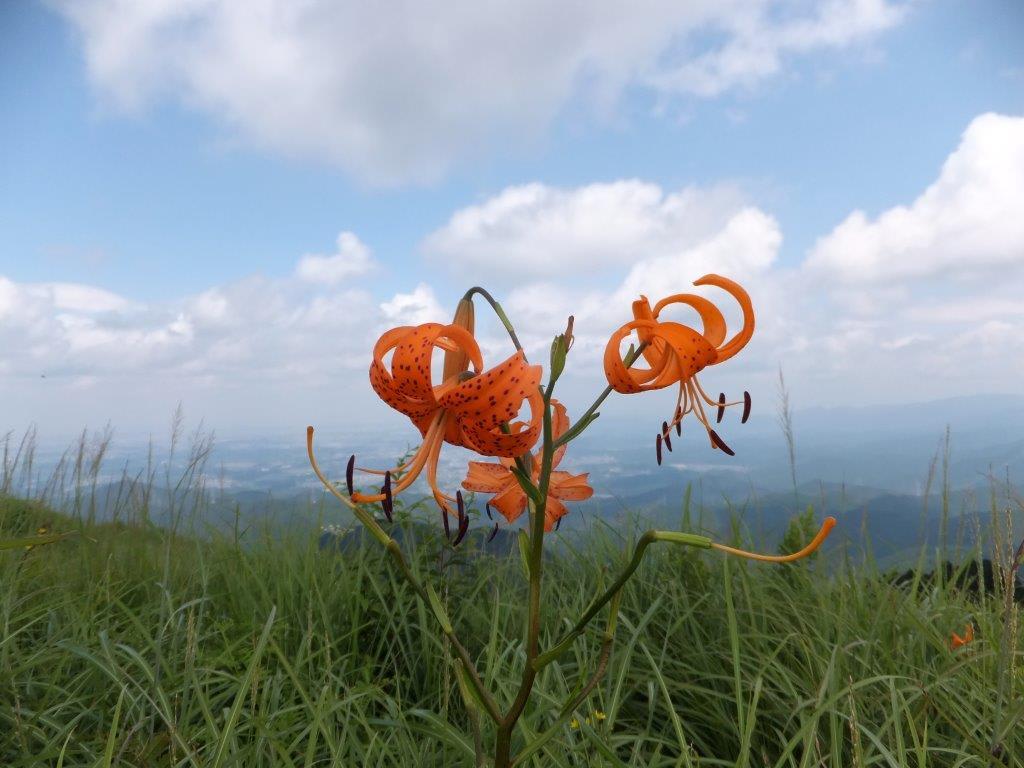 8月の花 岩湧の森 四季の山野草