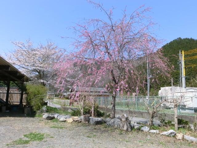 しだれ桜、5分咲き
