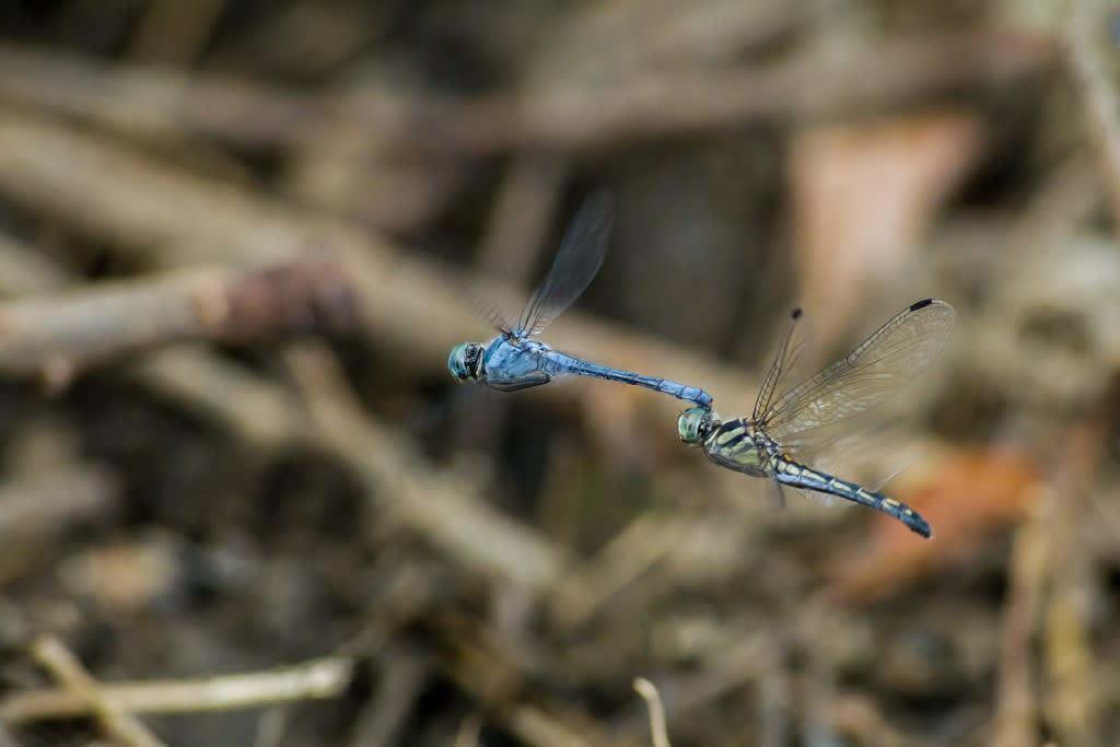 ナニワトンボの連結飛翔の写真