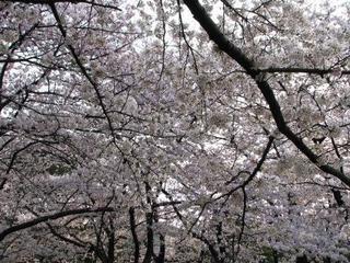 姥桜(うばざくら)っていい意味だったのか・・・ - ほうげん日記