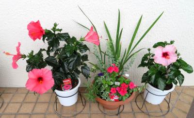 寄せ植え鉢-Nとハイビスカス赤とピンク
