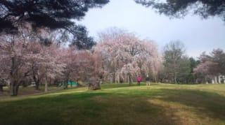 雪窓公園の桜