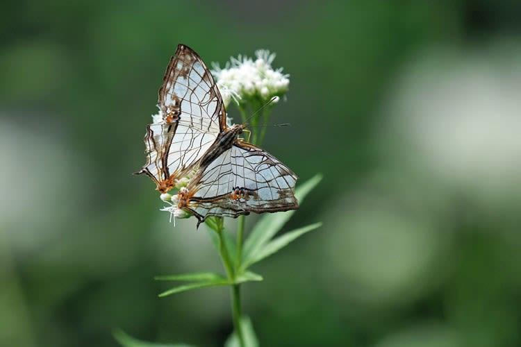 藤袴と石崖蝶