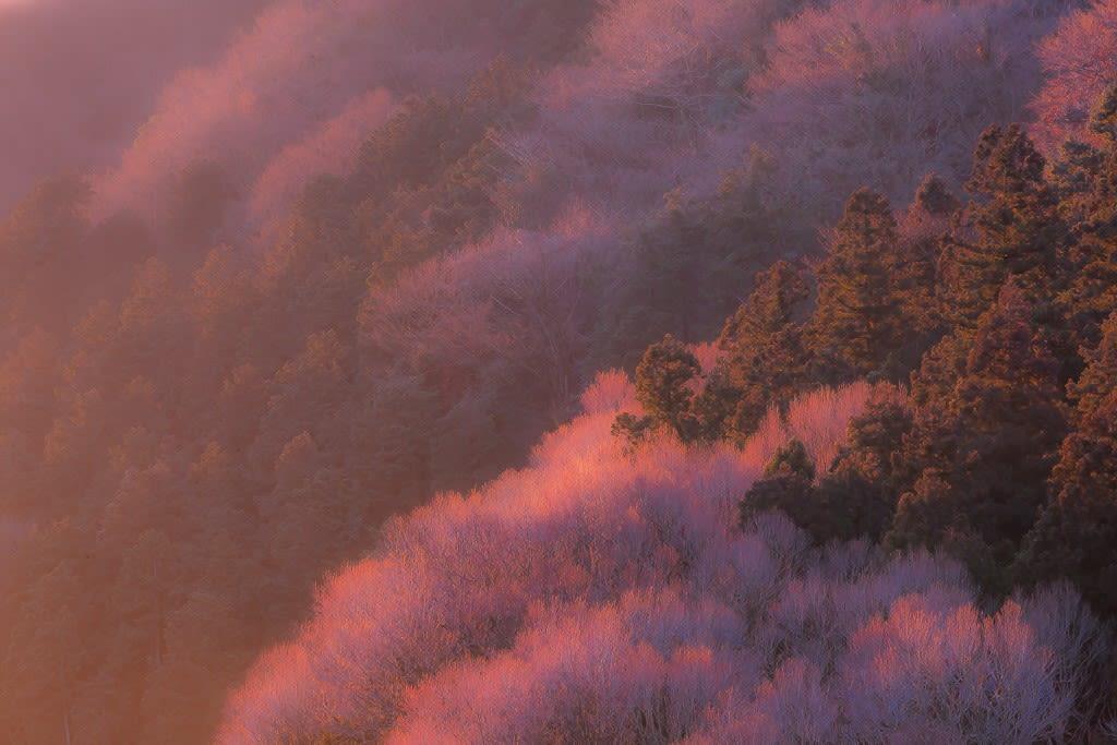 裏高尾のカツラ林の写真