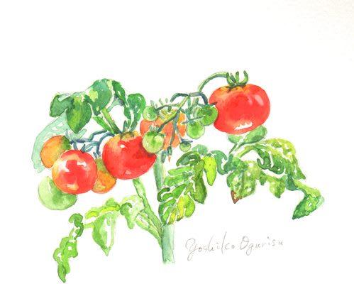 ミニトマト栽培の絵 小栗栖好子 水彩画イラスト