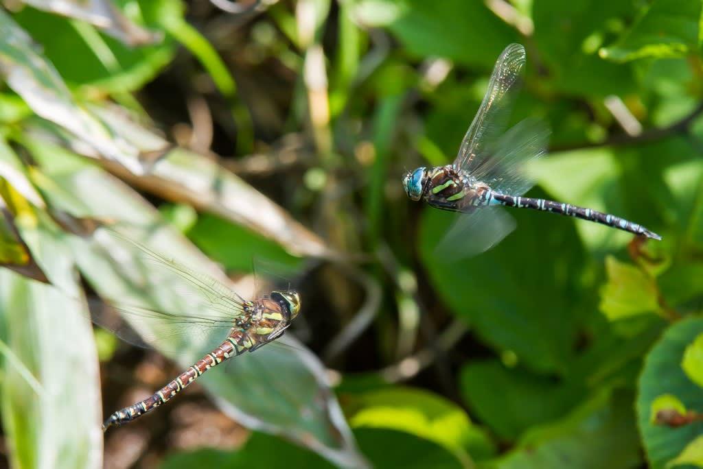 オオルリボシヤンマ(青色型メス)の写真