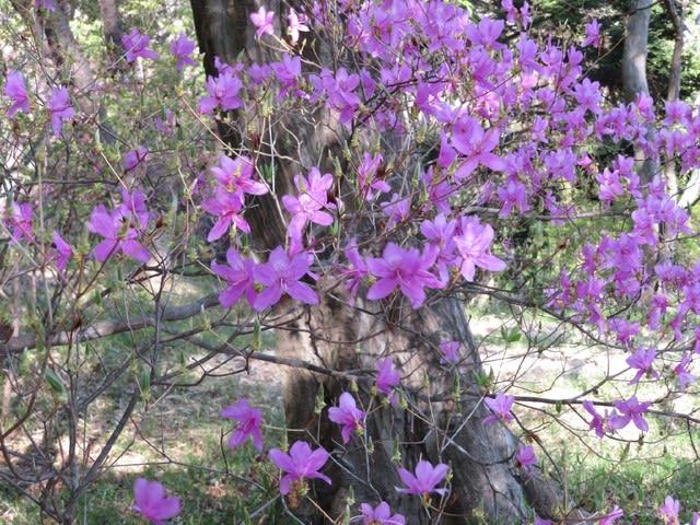 オオムラサキツツジ (大紫躑躅) 江戸時代から栽培されている常緑の低木であるが、日本には野生は見当たらず、自然雑種であろうと考えられている。