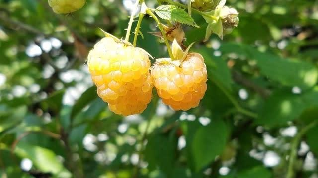 キミノヒマラヤキイチゴ - Rubus...