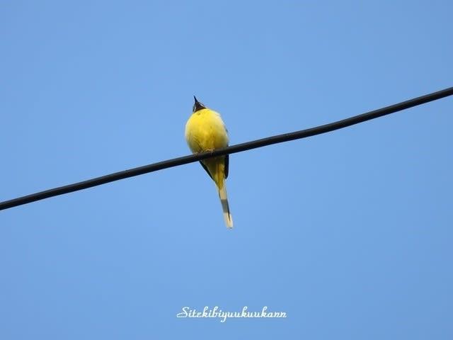 初めて見る黄色い鳥* この鳥の名前を教えて下さい - 私的美遊空間