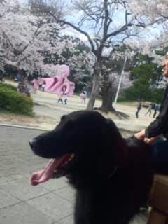 少し散り始めた桜