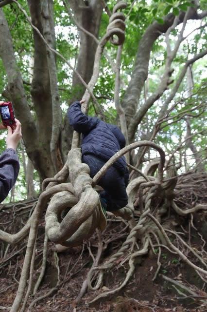 屋久島大きなつる植物