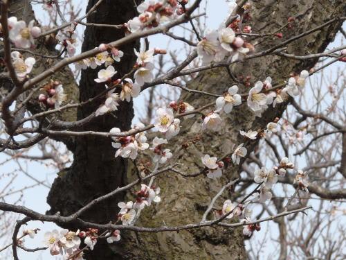 松本城公園の白梅