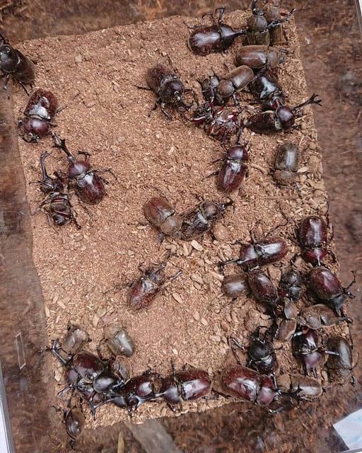 カブトムシ掘りで捕まえたカブトムシ