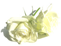 Rose_white_022