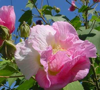 朝のうちはまだ白いが、陽がさせばほんのりとピンクに染まる華