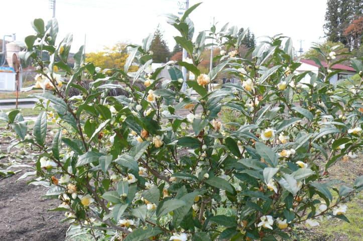 一関市大東町渋民のチャ(茶)/チャノキ(茶の木)の花 2012年11月9日(金) - peaの植物図鑑