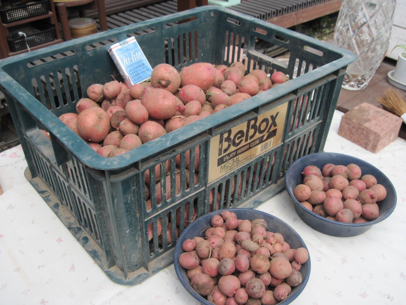 ジャガイモ収穫・2の画像