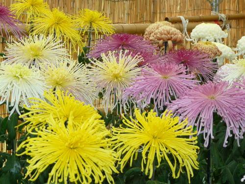 第50回国宝松本城菊花展 管物と呼ばれる菊の花