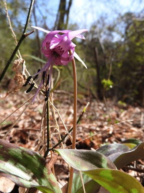 高ボッチ高原・鉢伏山で最近咲いている花 カタクリ(片栗)