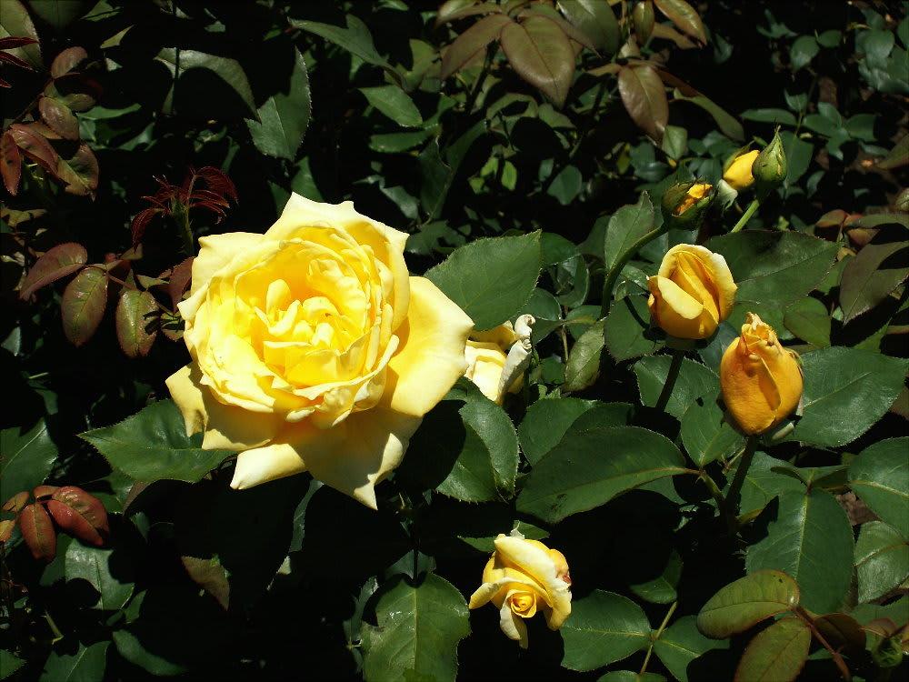 夏の黄薔薇 ゴールデンハート 花の公園 俳句 ing