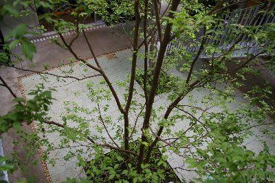 シンボルツリーのヒメシャラ