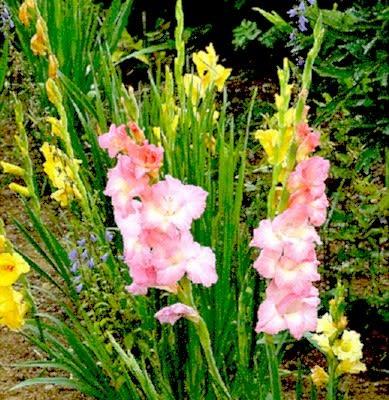 夏咲く華やかな花、グラジオラス、カンナ、他。 - 花と徒然なるままに