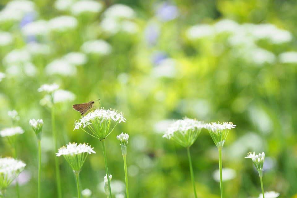 群れ咲くニラとイチモンジセセリ