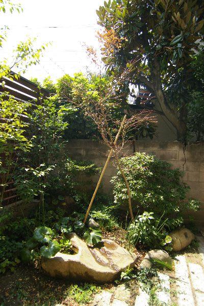 葉っぱを取り除いたイロハモミジ