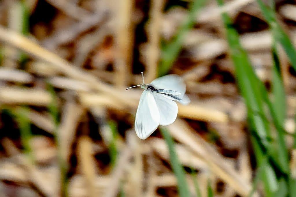 ヒメシロチョウ(春型)