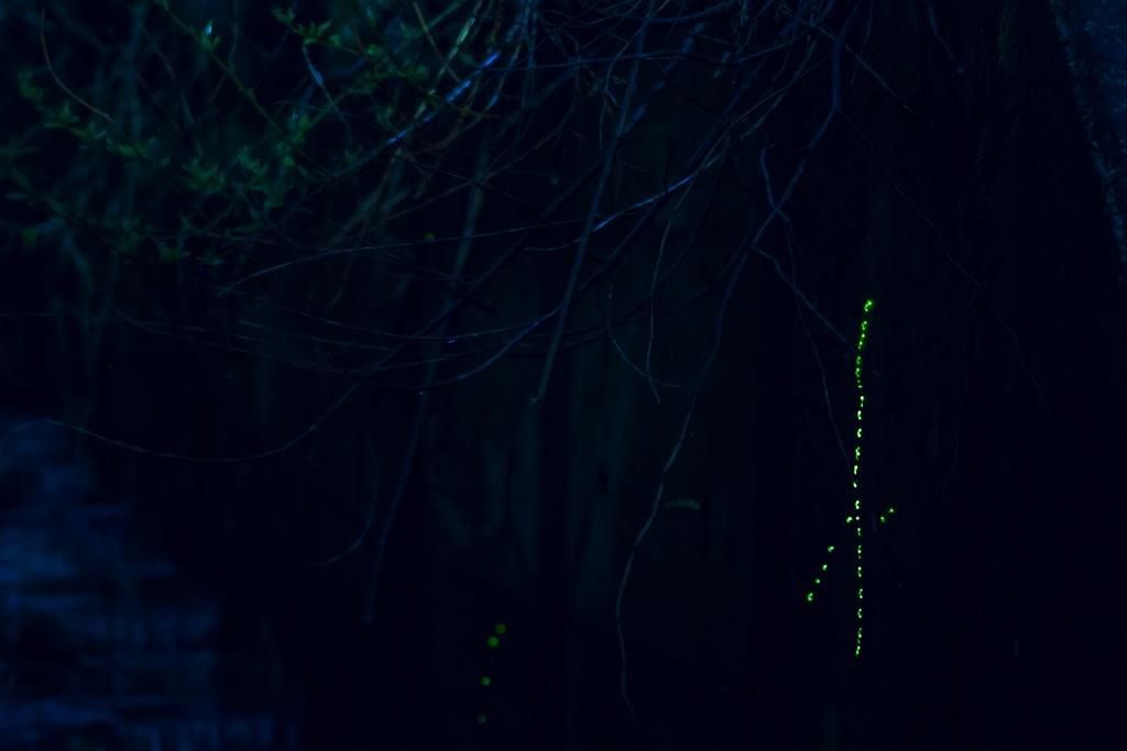 上陸しながら発光するゲンジボタルの幼虫