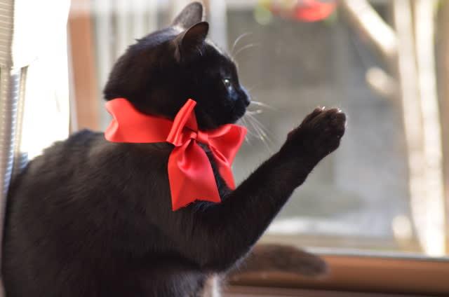 赤いリボンの黒猫