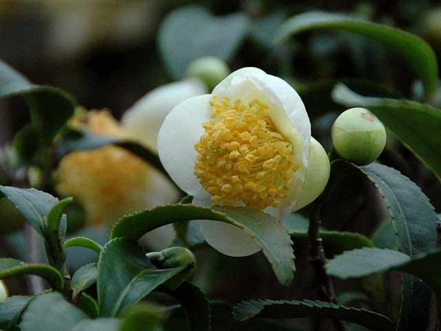 チャノキ(茶の木)の花 - アルママの気まぐれ日記