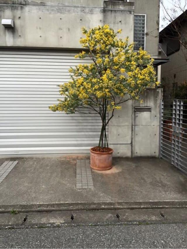 ミモザ の 木 ミモザの育て方 - shiny-garden.com