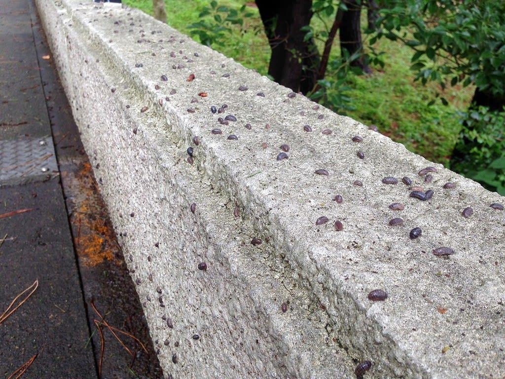 コンクリート ダンゴムシ