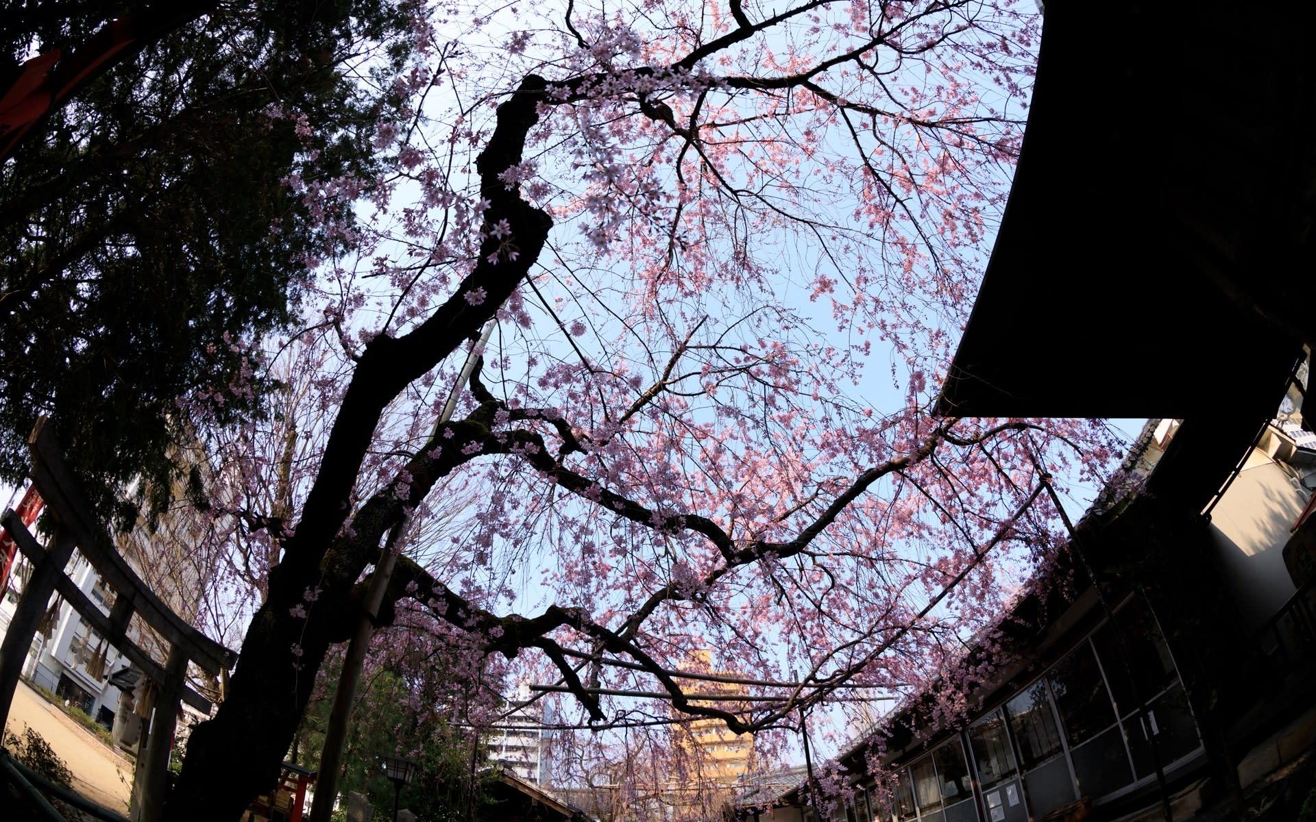 2018年桜の京都 水火天満宮の壁紙 計19枚 壁紙 日々駄文