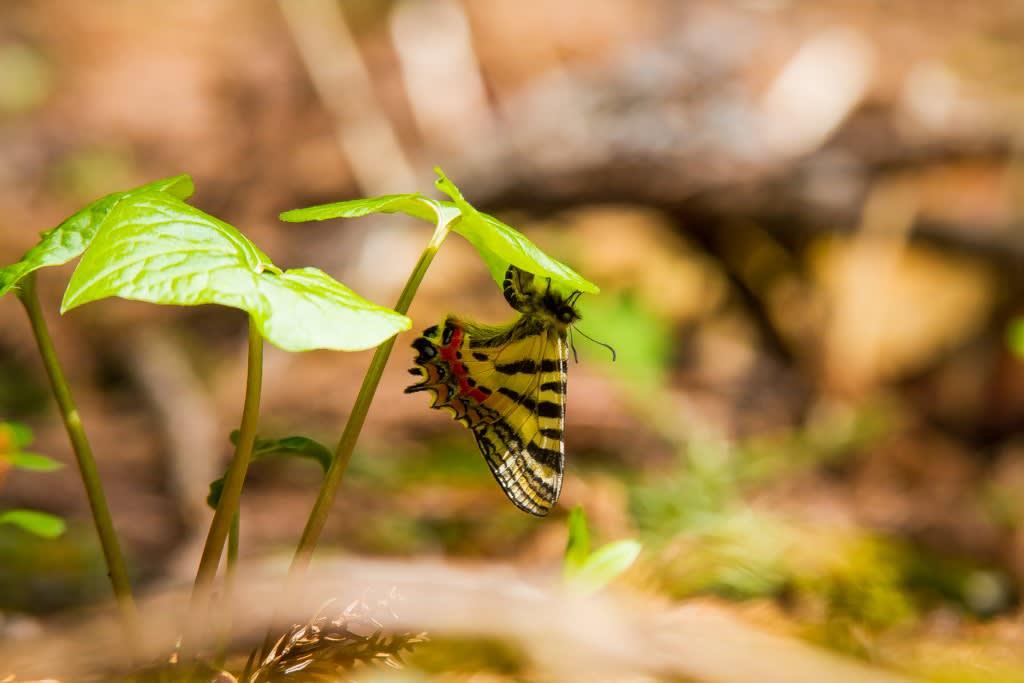 ギフチョウの産卵写真
