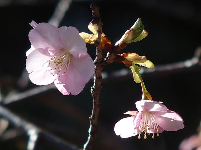 カワヅザクラ