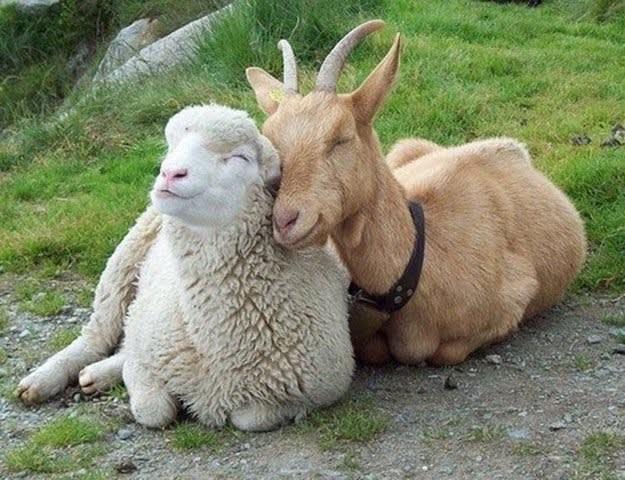 ♯989 羊の群れに山羊を混ぜると - 今日の視点 (伊皿子坂社会経済研究所)