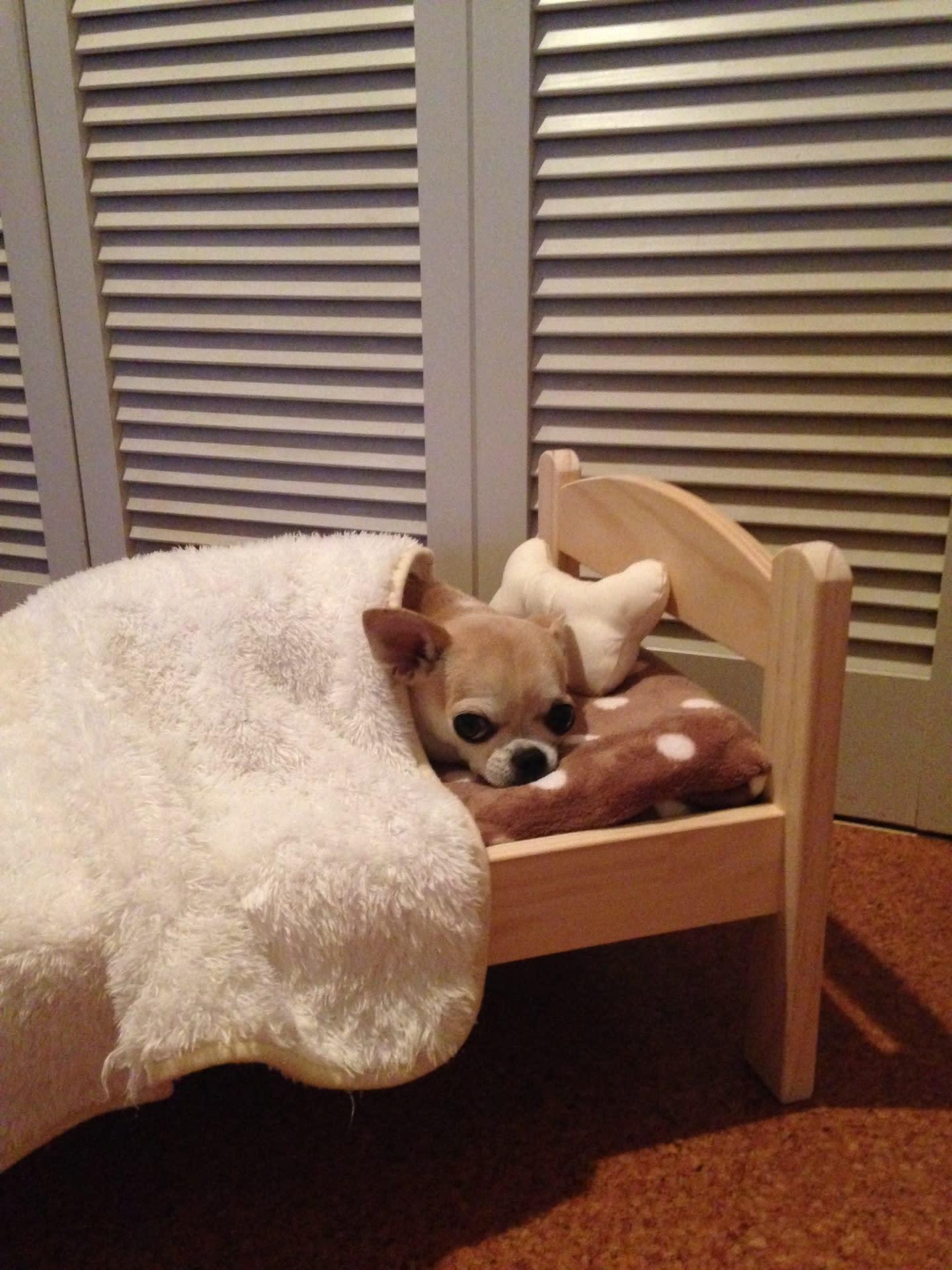 Resultado de imagen para chihuahua 私のベッドで