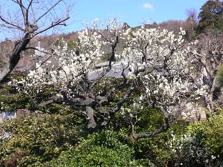 鎌倉の梅その2