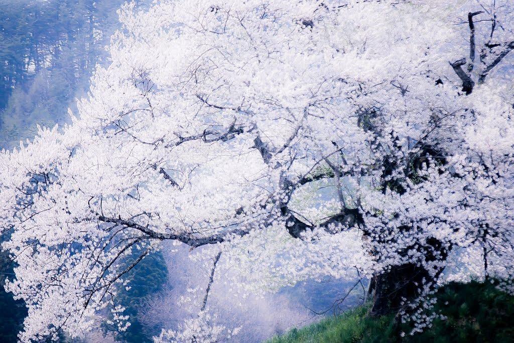 発知の彼岸桜