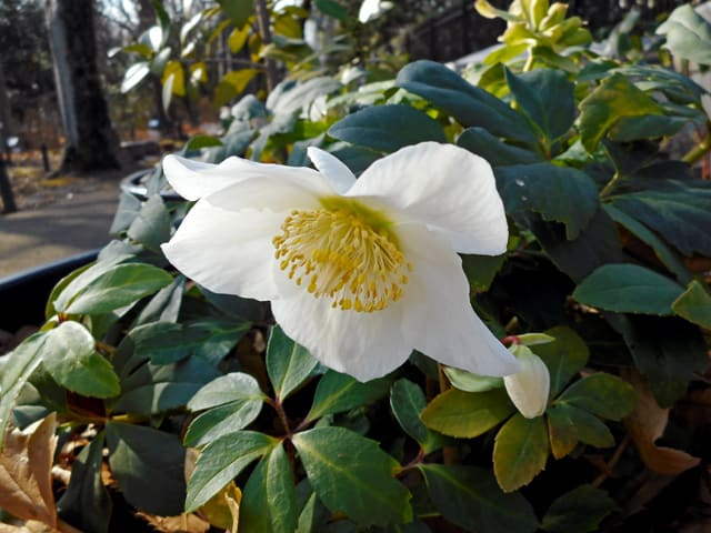 クリスマスローズ - 東京都薬用植物園