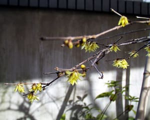 我が家の蝋梅の花