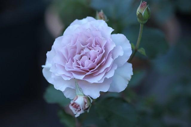 2019年バラ二番花