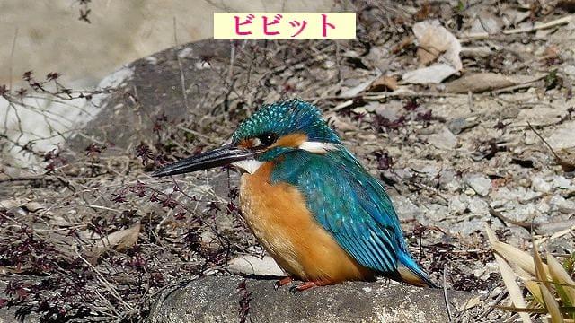 フリー素材 : 野鳥 ・ 翡翠 於大公園のカワセミ FZ300:フォト ...