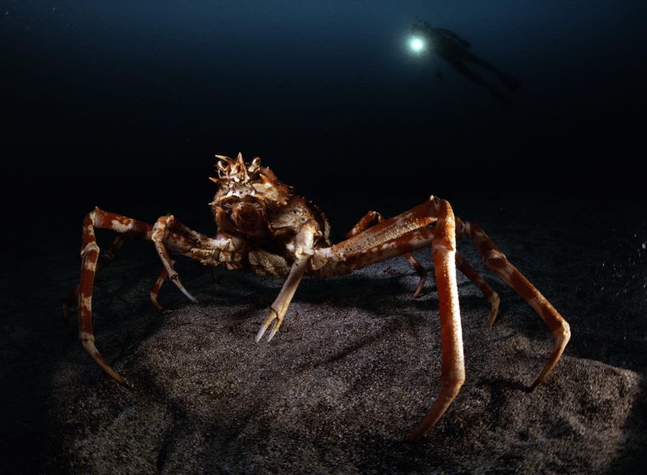 相模湾のタカアシガニ - 海人の深深たる海底に向いてー深海の不思議ー