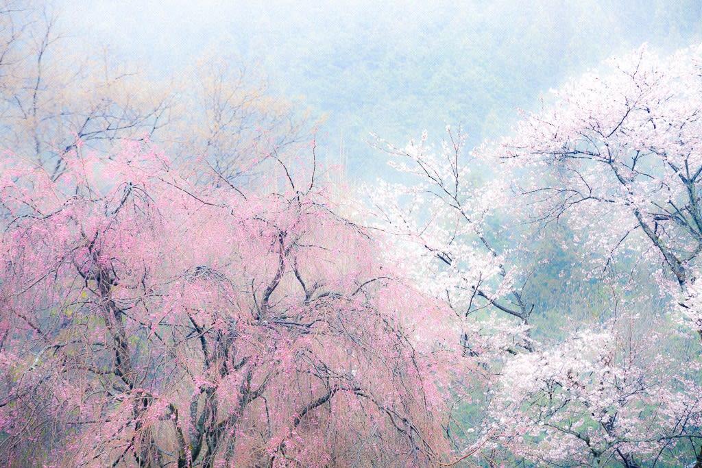 龍珠院の桜の写真