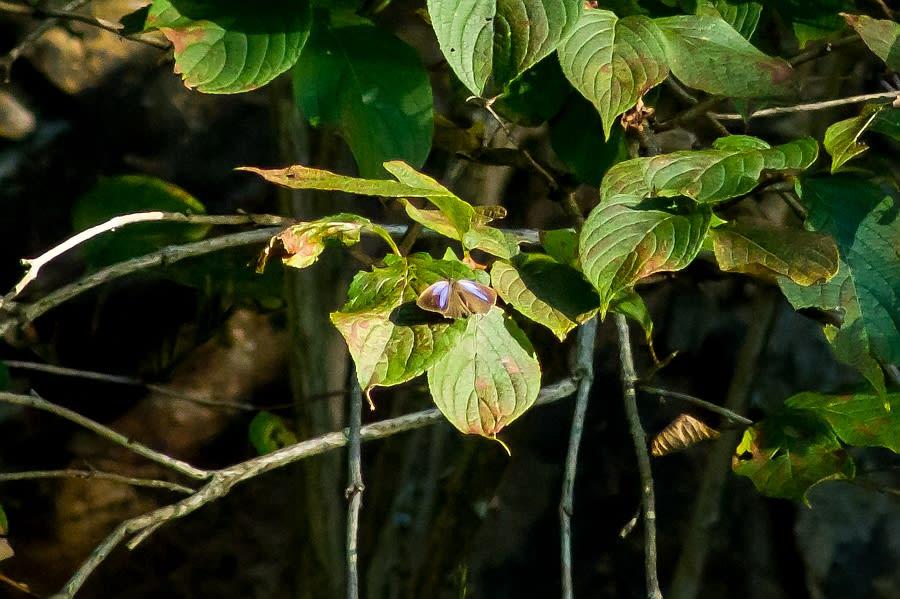 ヒサマツミドリシジミ
