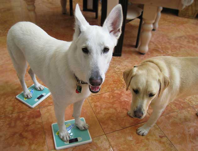 オパールカズの【おしゃれライフ In 海外】旅とホワイトシェパードとラブ犬